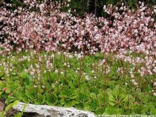 Saxifraga x urbium (London's Pride) Antonia's Favourite  plant