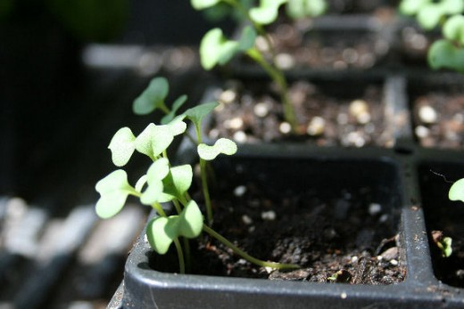 Broccoli seeds may be saved for several years.
