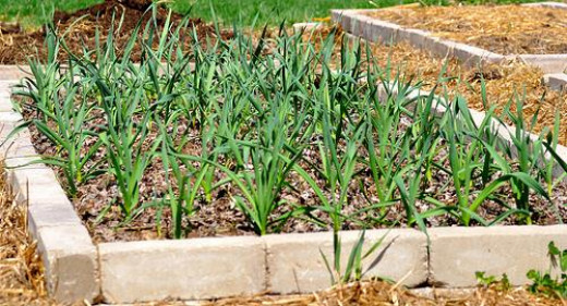 garlic planted in a raised bed garden