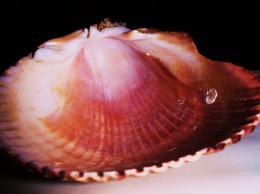 Scallop shells are great for baptisms and for seafood sidedishes or appetizers.