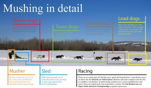 For serious mushers, there can be many dogs and each has a role.  Not all dogs are suited to all roles.