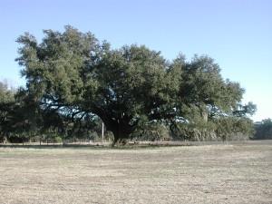 A Southern Live Oak in winter.