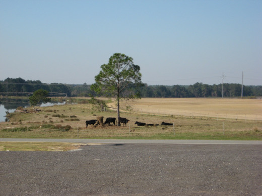 local cattle