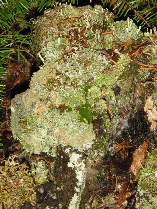 Several species of moss and lichens are growing on this rotting stump.