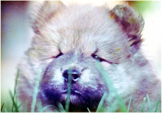 Chessie, The Chow Chow