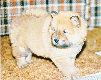 Beautiful Chow Chow puppy, one of six