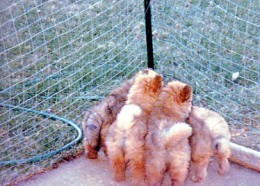 The pups at six weeks of age - all fluff