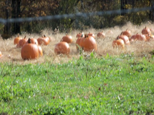 The pumpkins are waiting to be pies.