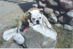 Best Pet Rock Breed