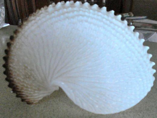 The Delicate 'Paper Nautilus.'