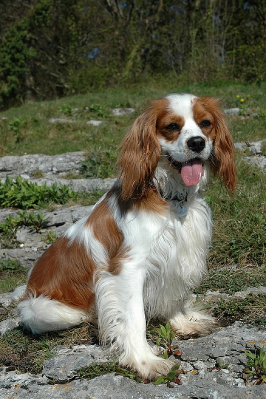 The Cavalier King Charles Spaniel as an adult.