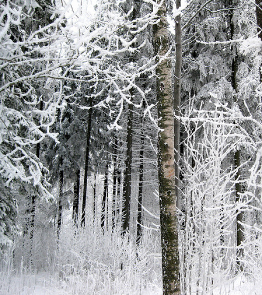 A birch in a frosty forest from Juha Riissanen Source: flickr.com