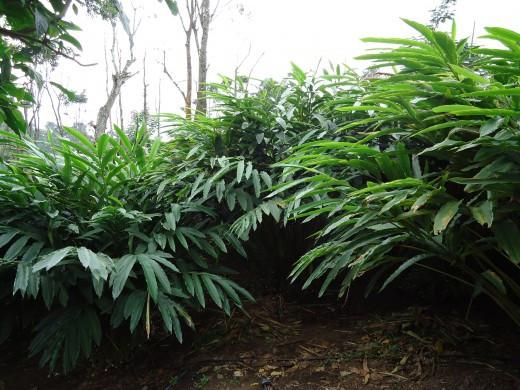 Cardamom plantation, from a thick and green plantation.