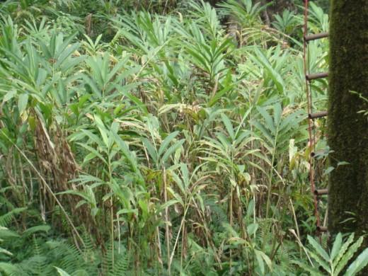 Cardamom plantation at Coorg