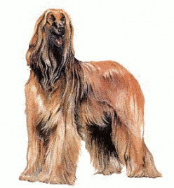 Afghan Dogs
