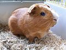 Guinea Pig in Cage with Solid Base