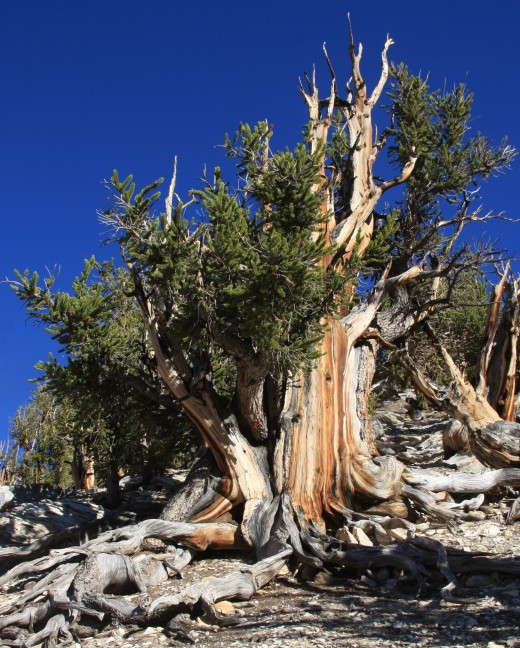 A large Great Basin Bristlecone Pine Pinus longaeva, showing both live and dead sections, and streaked grain colors on broad trunk. It is purported to have a lifespan of 4,713 years.
