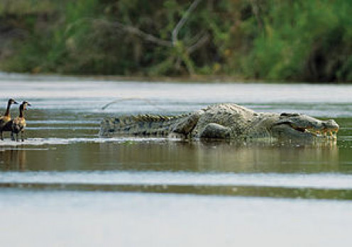 This croc may be Gustave