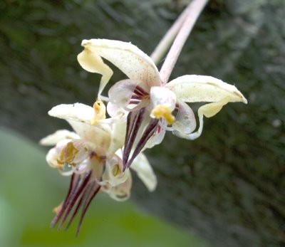 Closer look at cacao flower.