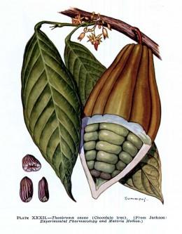 Cacao, Theobroma cacao L.