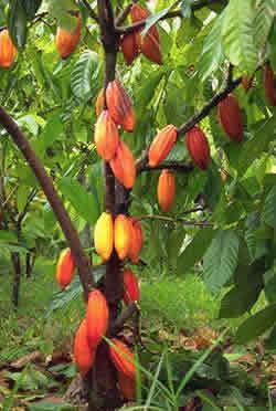 Cacao tree with fruits at different stages of development.