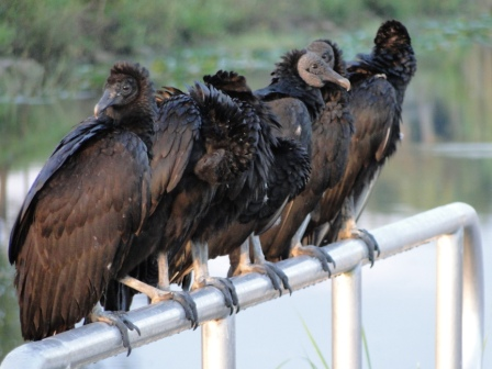 "A ""gaggle"" of Turkey Vulture"