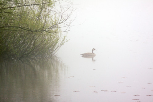 Goose and Fog, Hurdle Waterfowl Park, Ashland County Ohio