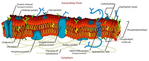 A section of a cell membrane, showing the proteins embedded in and attached to the membrane