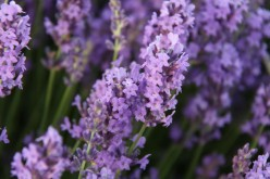 one of best lavender producers in the world.