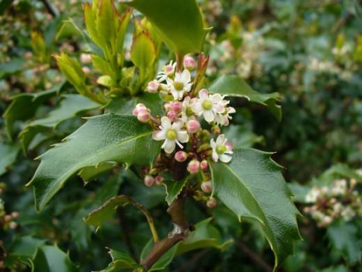 Flowers on holly bush (Public Domain Photo)