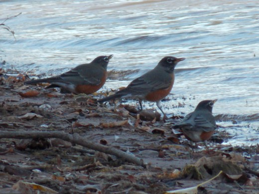 Three Little Robins, All in a Row!