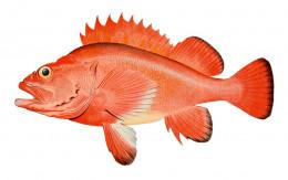 Red rockfish Sebastes aleutianus