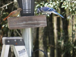 A blue jay and a red bird sharing food at the community trough
