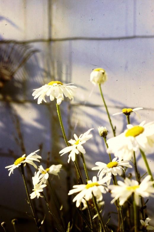 Daisy Garden 1973