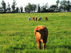 What's Right With Grass-fed Beef