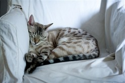 """ANIMAL LAZINESS: CATS TAKE NAPS. DUHHH. WHERE DO YOU THINK THE TERM  """"CAT NAP"""" CAME FROM?"""