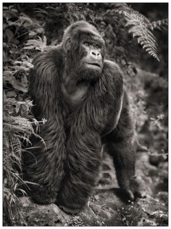 THIS POWERFUL BEAST IS A GORILLA. HE MAY LOOK LAZY, BUT PLEASE, DO NOT BE A FOOL AND TELL HIM HE IS LAZY.