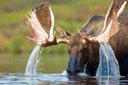 Water falling from Moose antlers
