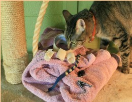 Lilly inspects, clippers, towel, tape, collar all on the kitty condo with scratching post