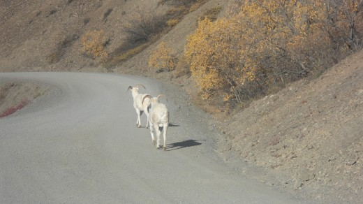 Dall sheep on a path in Denali National Park
