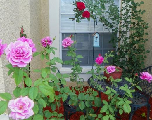 Old Garden Roses (front) Don Juan Climbing Rose (back)