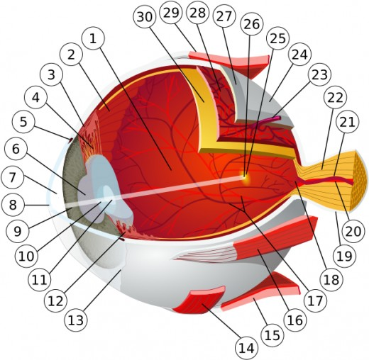 1: posterior chamber 2: ora serrata 3: ciliary muscle 4: ciliary zonules 5: canal of Schlemm 6: pupil 7: anterior chamber 8: cornea 9: iris 10: lens cortex 11: lens nucleus 12: ciliary process 13: conjuntiva 14: inferior oblique muscule 15: inferior