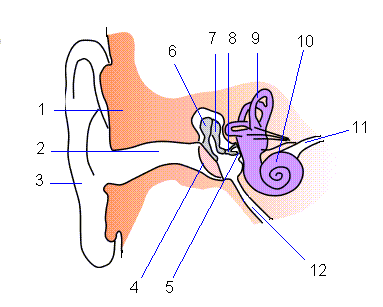 1 - skull, 2 - ear canal, 3 - pinna, 4 - tympanum, 5 - fenestra ovalis, 6 - malleus, 7 - incus, 8 - stapes, 9 - labyrinth, 10 - cochlea, 11 - auditory nerve, 12 - eustachian tube