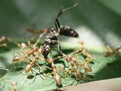 Do you think that ants are intelligent?