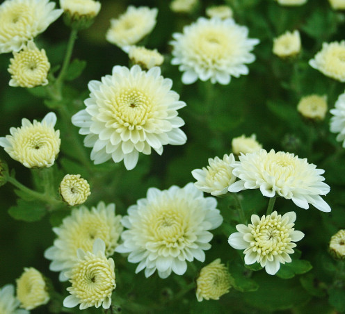 Pleasant's guide inlcudes tips for growing temporary houseplants like mums.