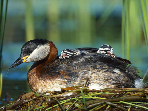 Mother Hooded Grebe strolling her babies