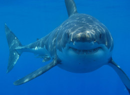The Great white shark (Carcharodon carcharias)