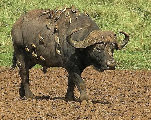 Cape Buffalo fully body