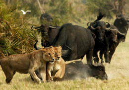 Cape Buffalo attacked by lions