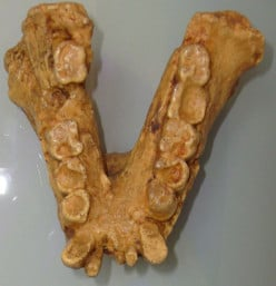 Even after a million years on this Earth, the only fossil evidence Gigantopithecus left behind is a few teeth and jawbone fragments.